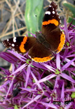 Red Admiral Butterfly by Maria Scarfone