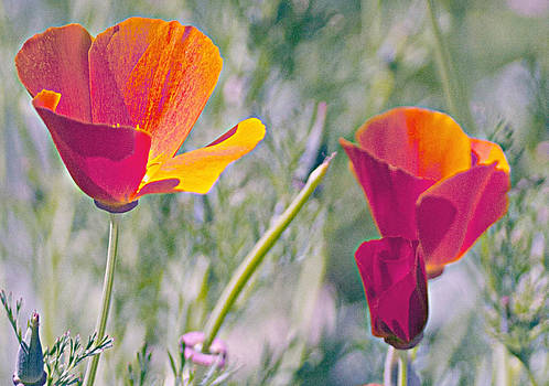 Gilbert Artiaga - Red and Orange Poppies