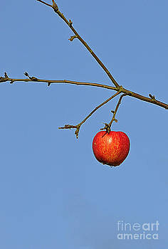 Red apple by Conny Sjostrom