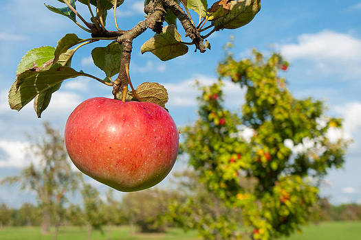Red apple on branch of tree by Matthias Hauser