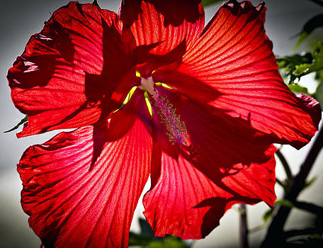 Red as Flower by Steve Buckenberger