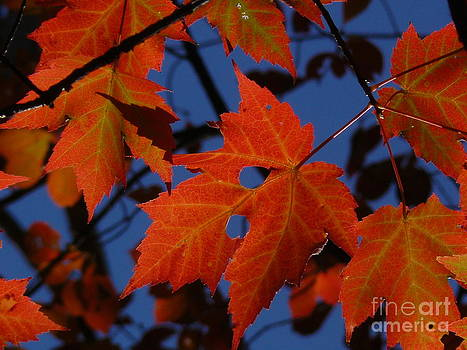 Red Autumn Maple Leave by Jody Curran