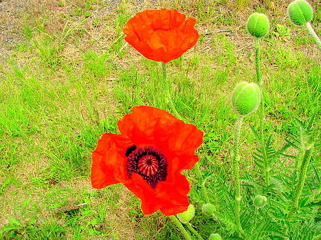 Red Beautiful Poppy Flowers by Amy Bradley