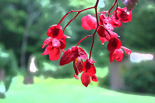 Red Begonia by Bob Whitt