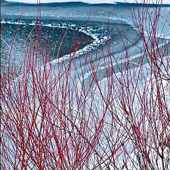 Red Bud and Ice by Felice Willat