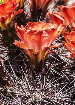 Darcy Michaelchuk - Red Cactus Flower