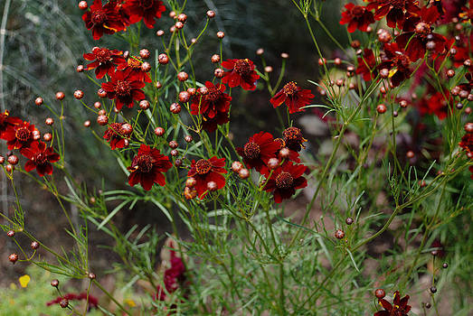 Red Cosmos In Bloom by Kelly Rader