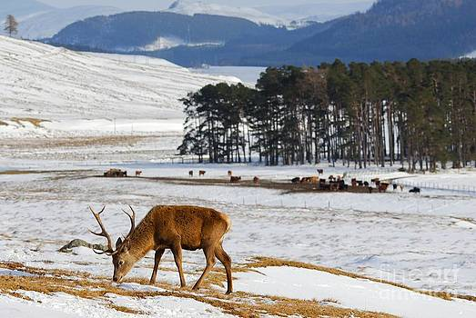 Red Deer stag forages for food in the Highlands of Scotland by John Kelly