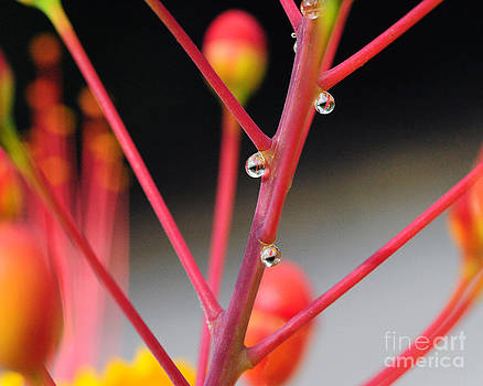 Red Dew by David Chalker