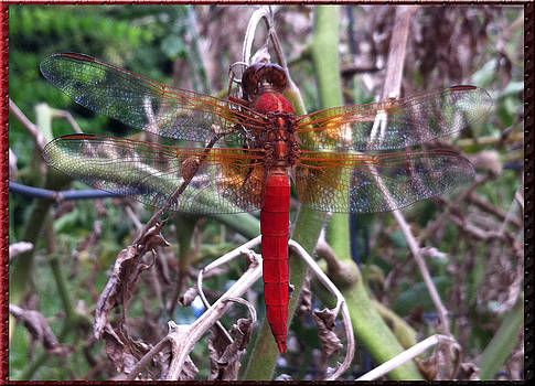 Red Dragonfly by Jody Roberts