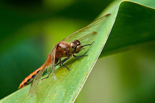 Matt Dobson - Red Dragonfly