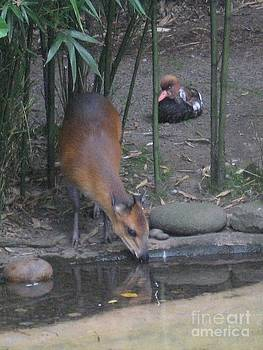 Red-Flanked Duiker and Duck by Lorrie Bible