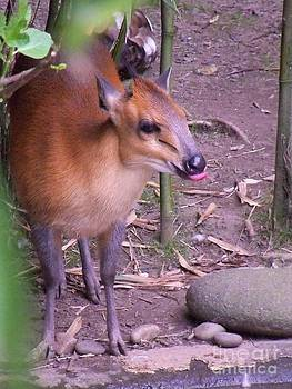 Red-Flanked Duiker Close Up by Lorrie Bible