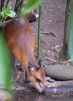 Red-flanked Duiker by Lorrie Bible
