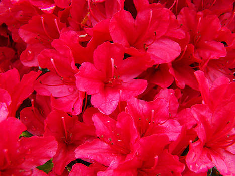 Baslee Troutman - Red Floral art prints Rhododendron Flowers Rhodies