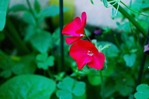 Gary Wonning - Red Flowers