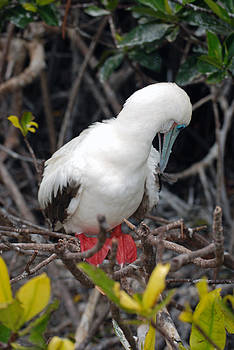Harvey Barrison - Red-Footed Booby
