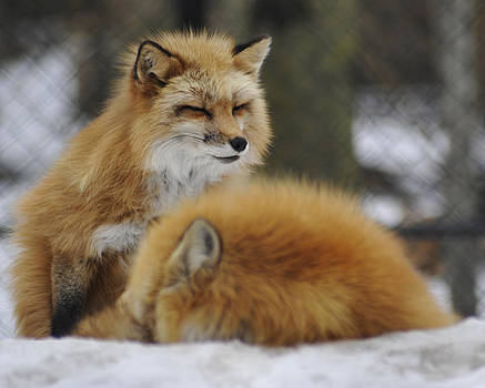 Elaine Mikkelstrup - Red Fox in Winter