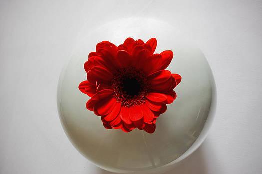 Red Gerbera in White Vase by Sandra Pledger
