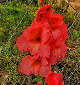 Red Glads by Victoria Sheldon