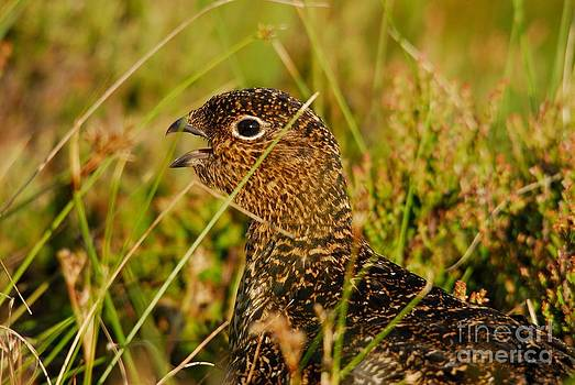 Red Grouse Chick Calling by John Kelly