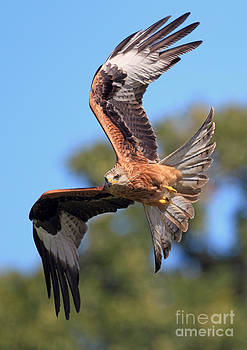 Red Kite on a Mission by Clare Scott