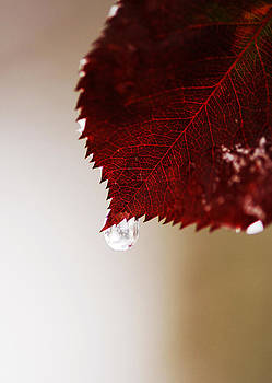 Red leaf by Ivailo Petrov