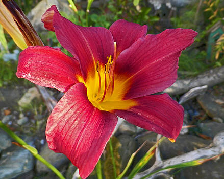 Red Lily 1 by Seth Shotwell