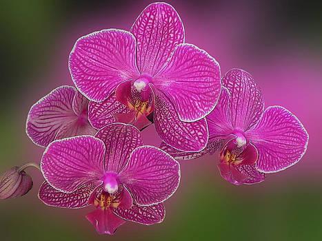 Red Orchid by Jesus Nicolas Castanon