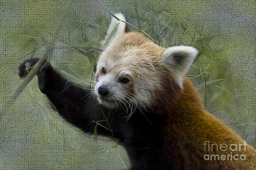 Heiko Koehrer-Wagner - Red Panda