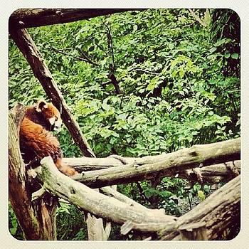 Red Panda by Jill Jankowski