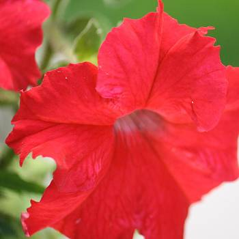 Donna Walsh - red Petunia