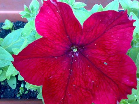 Red Petunia by Tis Art