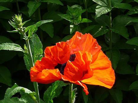 Red Poppy by Anke Wheeler