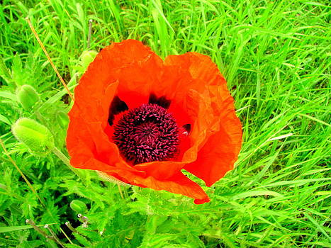 Red Poppy Purple Inside by Amy Bradley