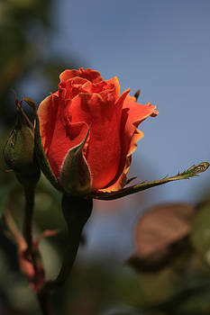 Red Rose Bud vert by Donna Corless