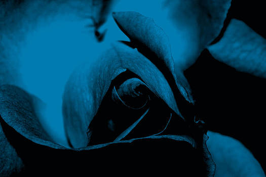 Red Rose Close up 2011 in Blue by Robert Morin