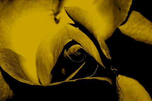 Red Rose Close up 2011 in Yellow by Robert Morin