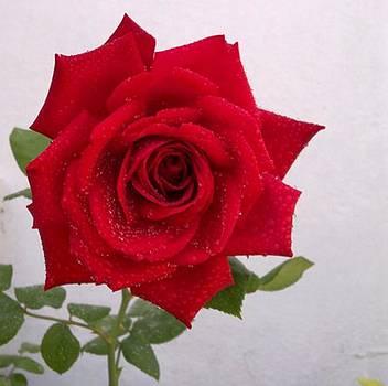 Red Rose by Dye n  Design