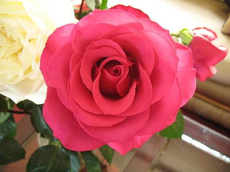 Red Rose by Susanna Raj