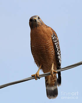 Wingsdomain Art and Photography - Red-Shouldered Hawk . 7D10254