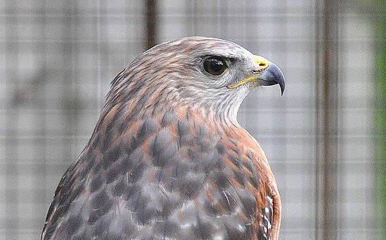 Red Shouldered Hawk Mending by Daniel Burnstein