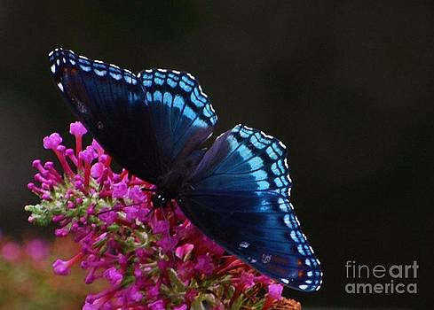 Joy Bradley - Red Spotted Purple Butterfly