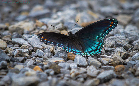 Red-Spotted Purple by Virag Yelegaonkar