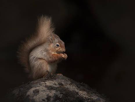 Red Squirrel Portrait by Andy Astbury