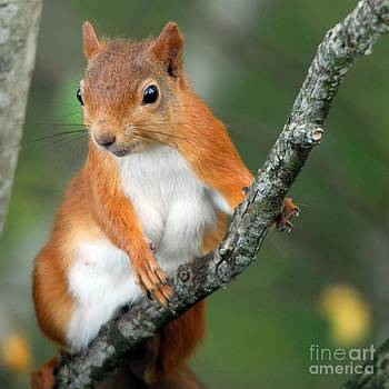 Red Squirrel Portrait by John Kelly