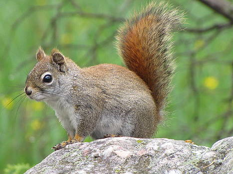 Red Squirrel by Stephanie Olsavsky