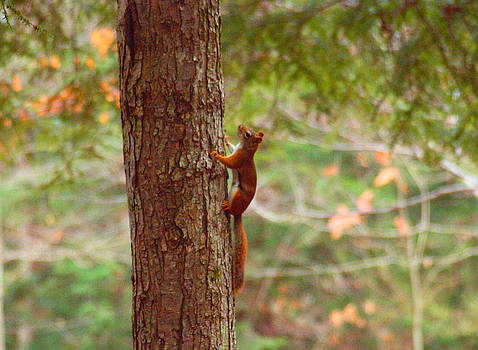 Tammy Bullard - Red Squirrel