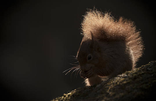 Red Squirrel with Backlighting by Andy Astbury