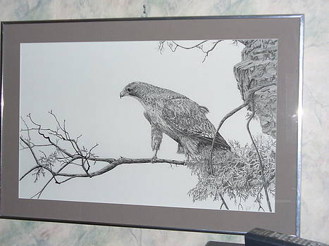 Red Tail Hawk by Al  Brown